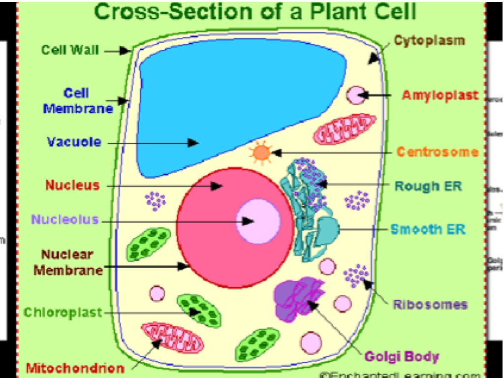 Showme A Real Plant Cell