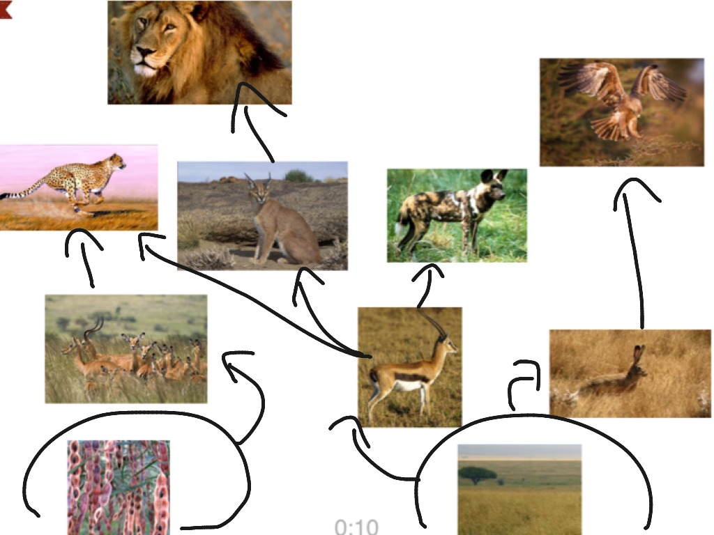 food web diagram african safari A food web is simply a chart, or diagram, showing which animals eat what all food webs start with a plant, and then branch out showing what eats that plant, and what eats those animals, and .