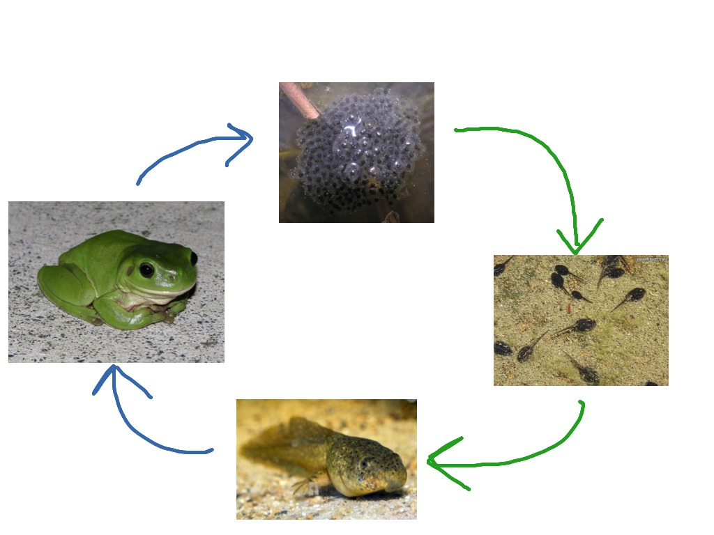 the frog life cycle process Frog life cycle printable by gwyn july 2014 // no commentsfrog life cycle  printable child's place has a  the very hungry caterpillar: process miss  bowes.