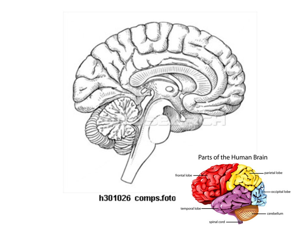brain parts and functions science biology anatomy human body  brain parts and functions science biology anatomy human body showme