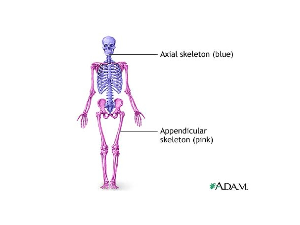 Axial and Appendicular | anatomy | ShowMe