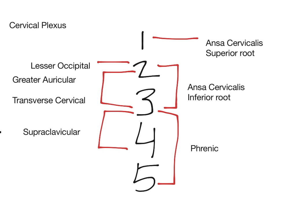 how to draw the sacral plexus