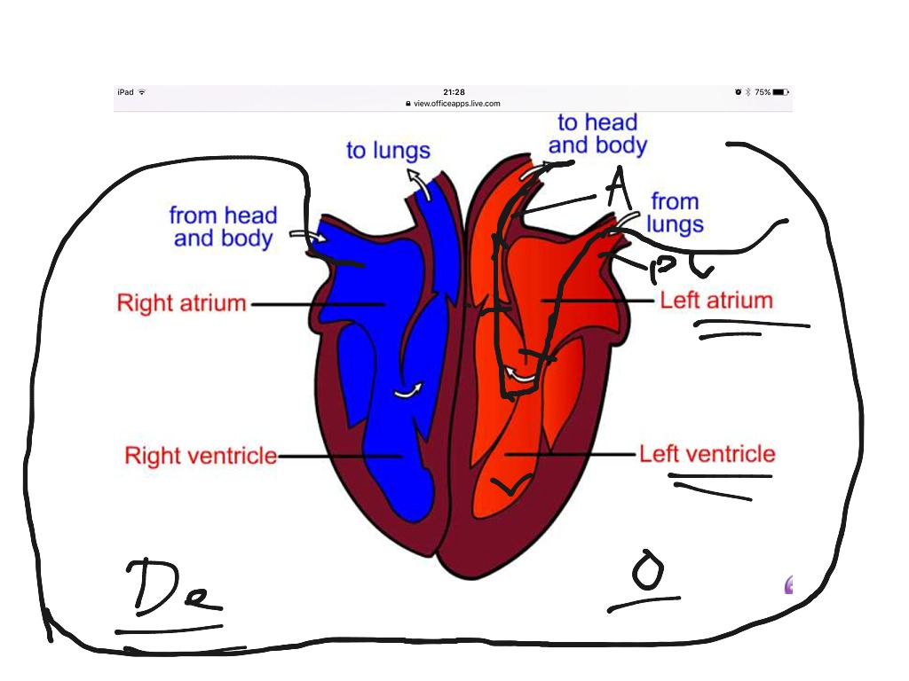 how the heart works - HD1024×768