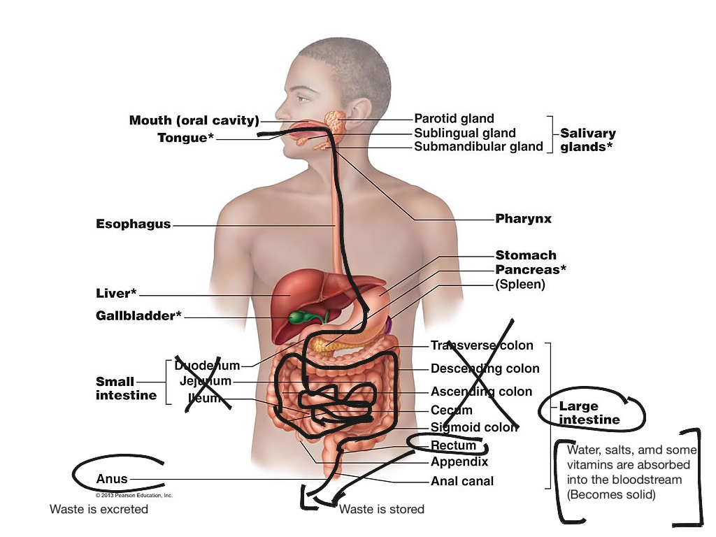 Digestive System Science Biology Anatomy Human Body Showme