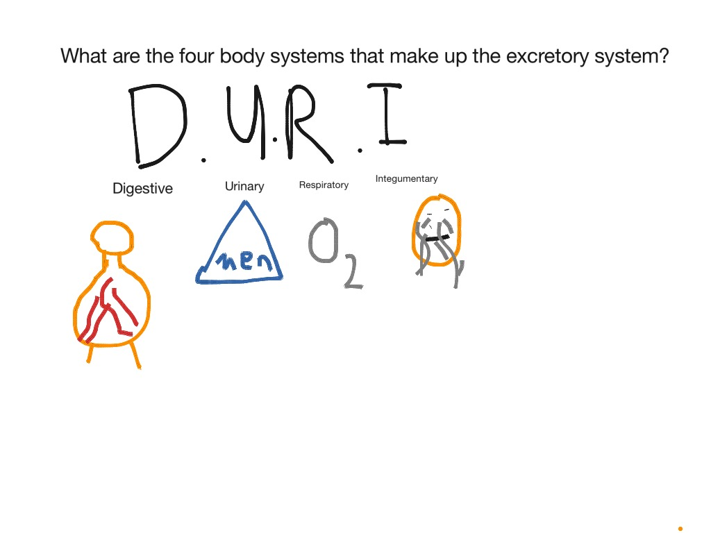 What Are The Four Body Systems That Make Up The Excretory System