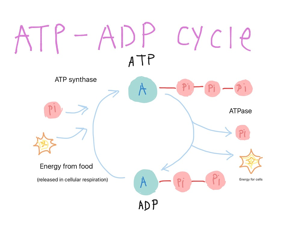 ATP And ADP Cycles