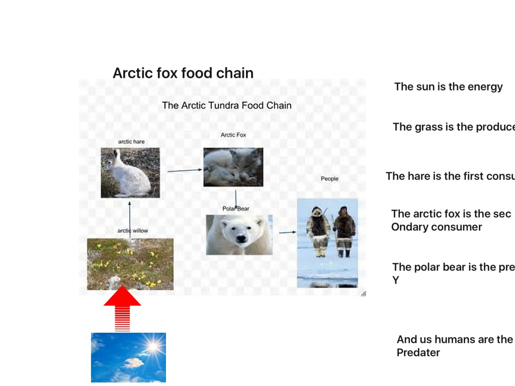 Arctic Fox Food Web on Tundra Food Chain Pictures