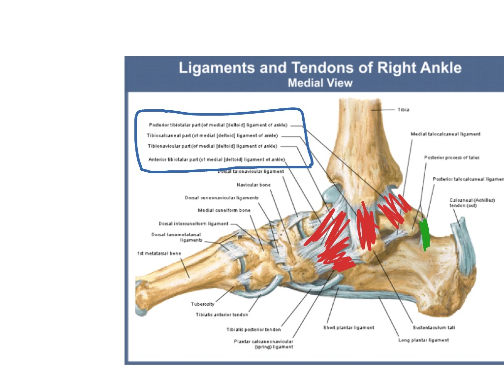 Ankle Ligaments Medial Aspect Showme
