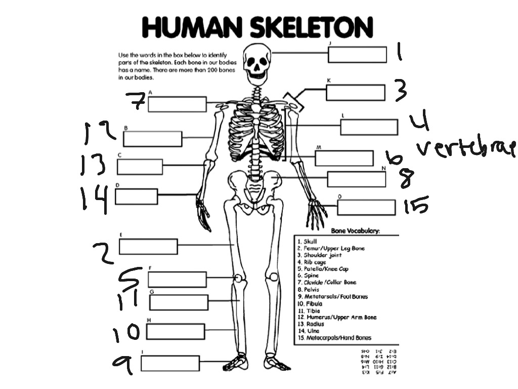 Human skeleton phyed studying physical education showme pooptronica Images
