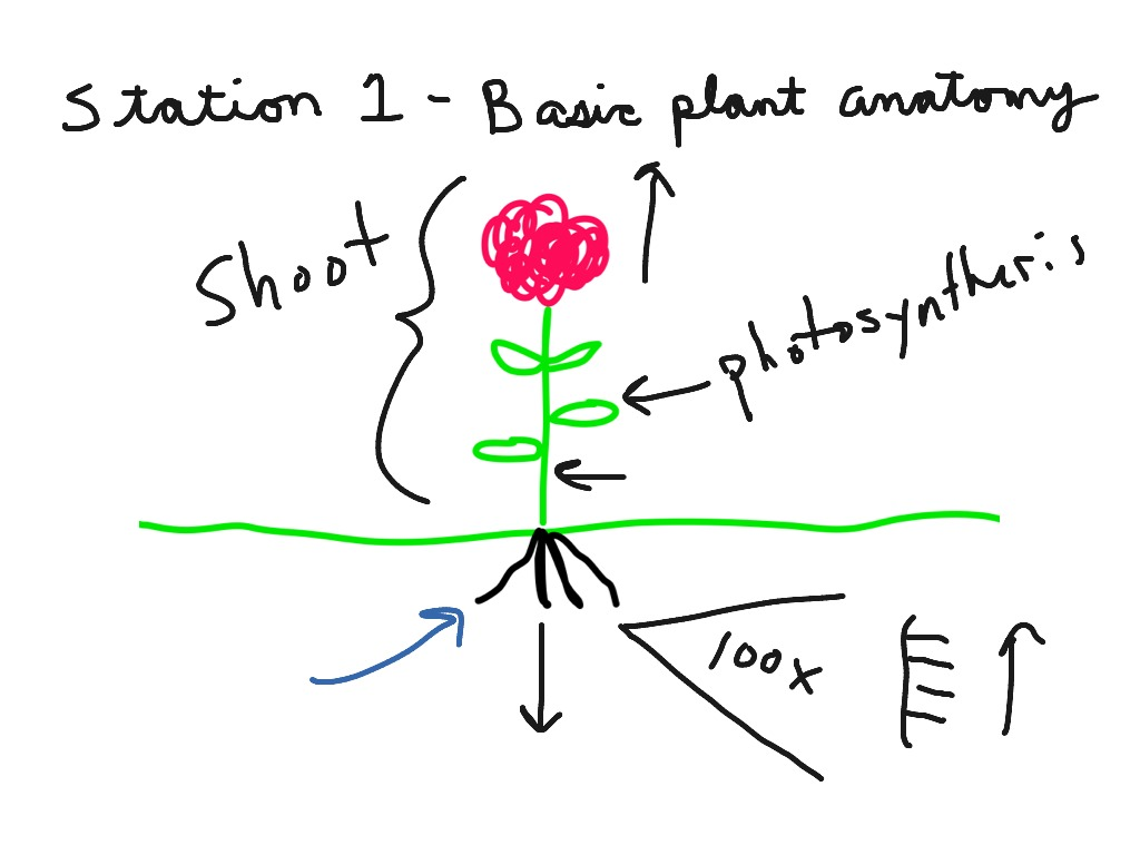 Basic plant anatomy - photosynthesis | Science | ShowMe