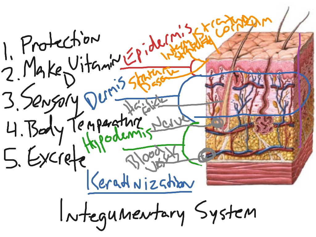 Showme camel integumentary system pooptronica