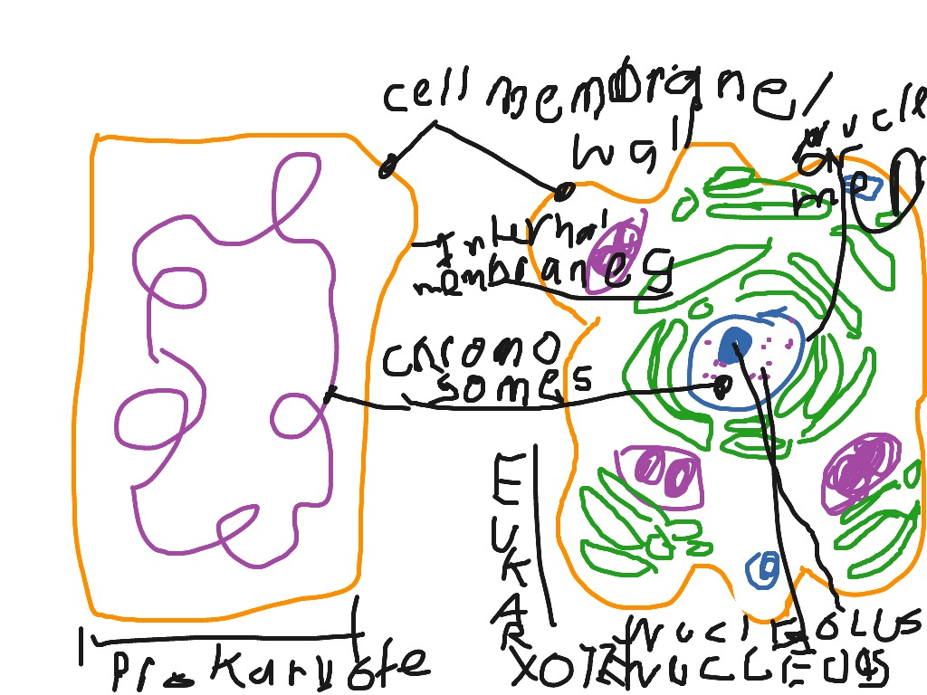 Diagram on plant and animal cells science showme pooptronica