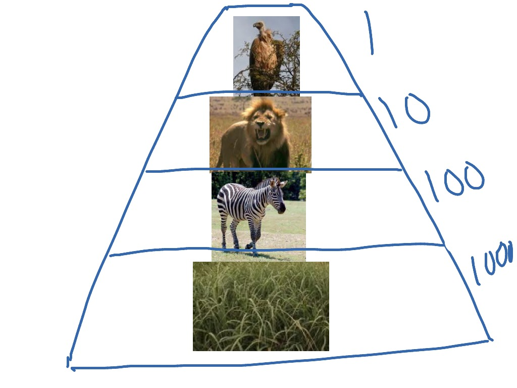 ShowMe - Food web african savanna and grassland
