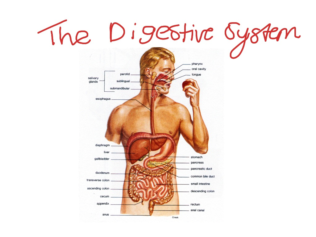Biology the 1st part of flow chart digestive system science showme ccuart Image collections