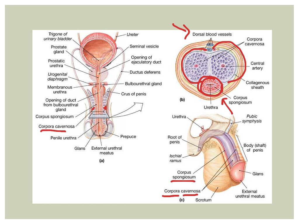 ShowMe - male reproductive system
