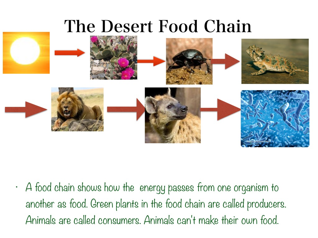 Desert Food Chain By Karely Science Earth Science Plants Showme