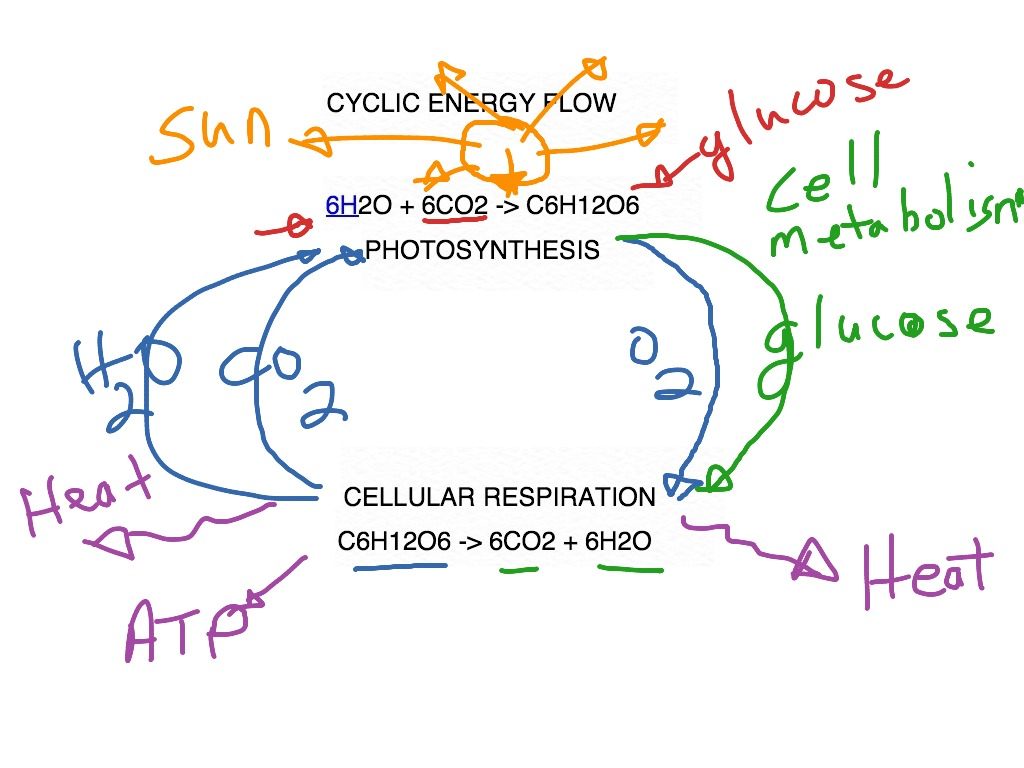 Respiration photosynthesis cellular and between relationship