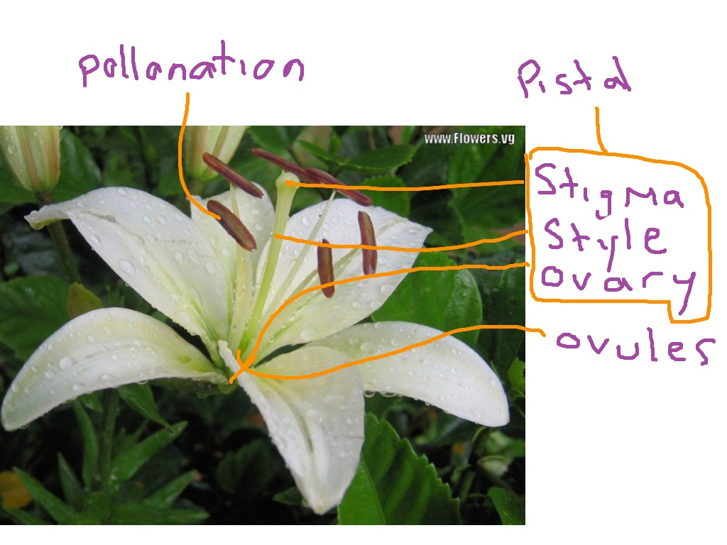 Female Parts Of A Lily Plant Science Showme