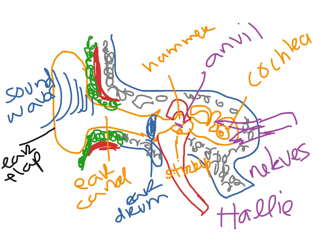 Ear diagram psychology showme pooptronica Gallery