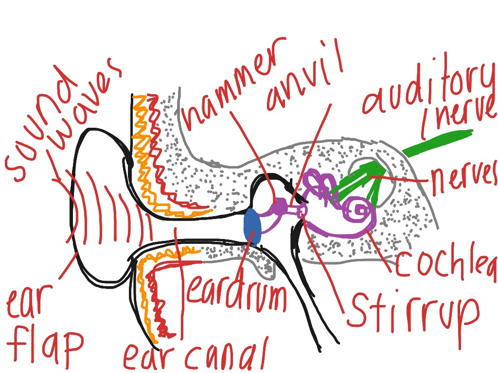 Diagram of ear psychology showme ccuart Gallery