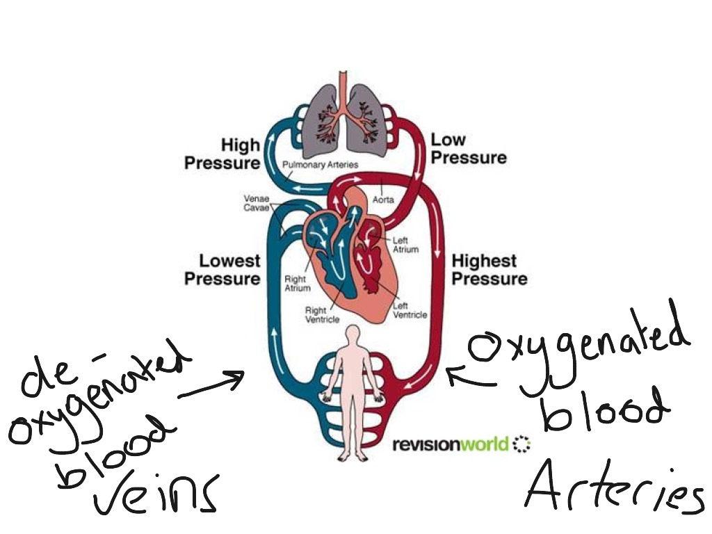 Double Circulatory System Diagram Science Biology Anatomy Veins Showme
