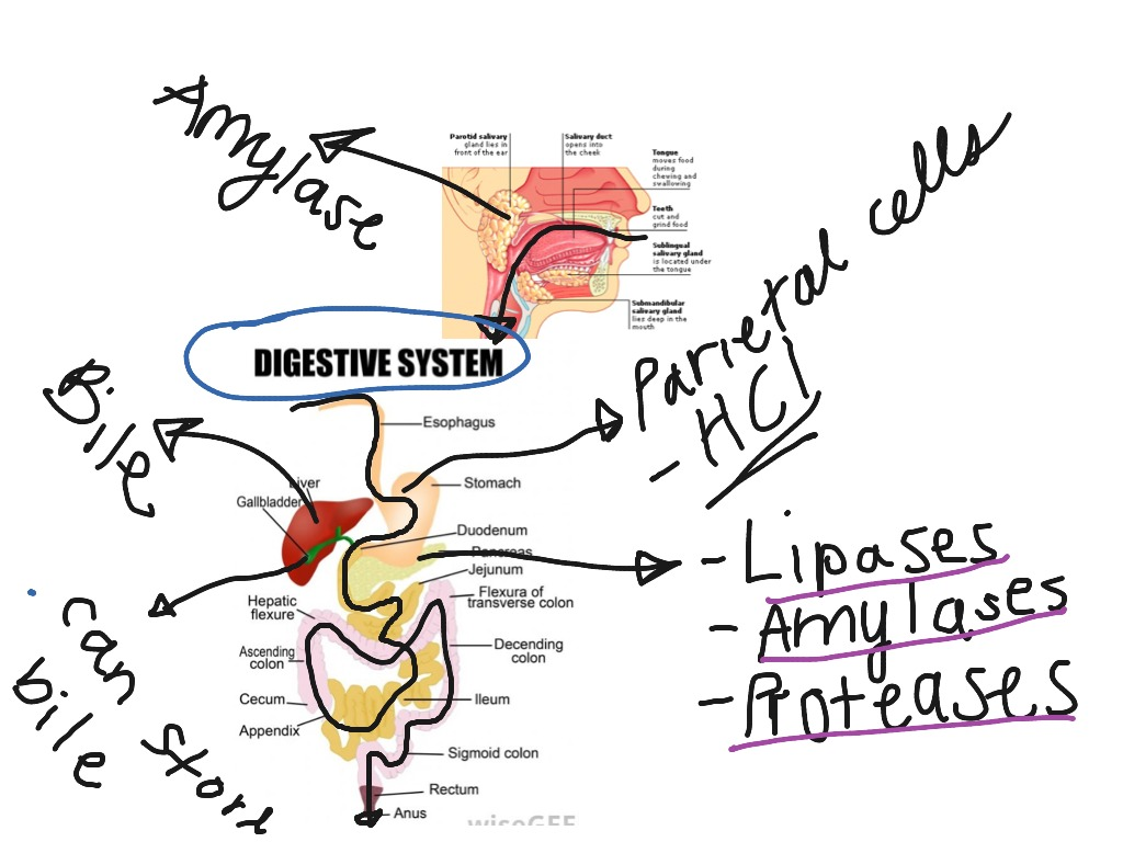 Showme digestive system flow chart enzymes most viewed thumbnail pooptronica