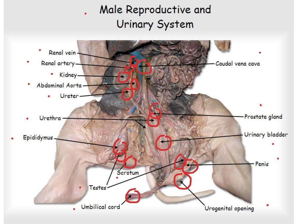 Male Reproductive And Urinary System Science Biology Showme