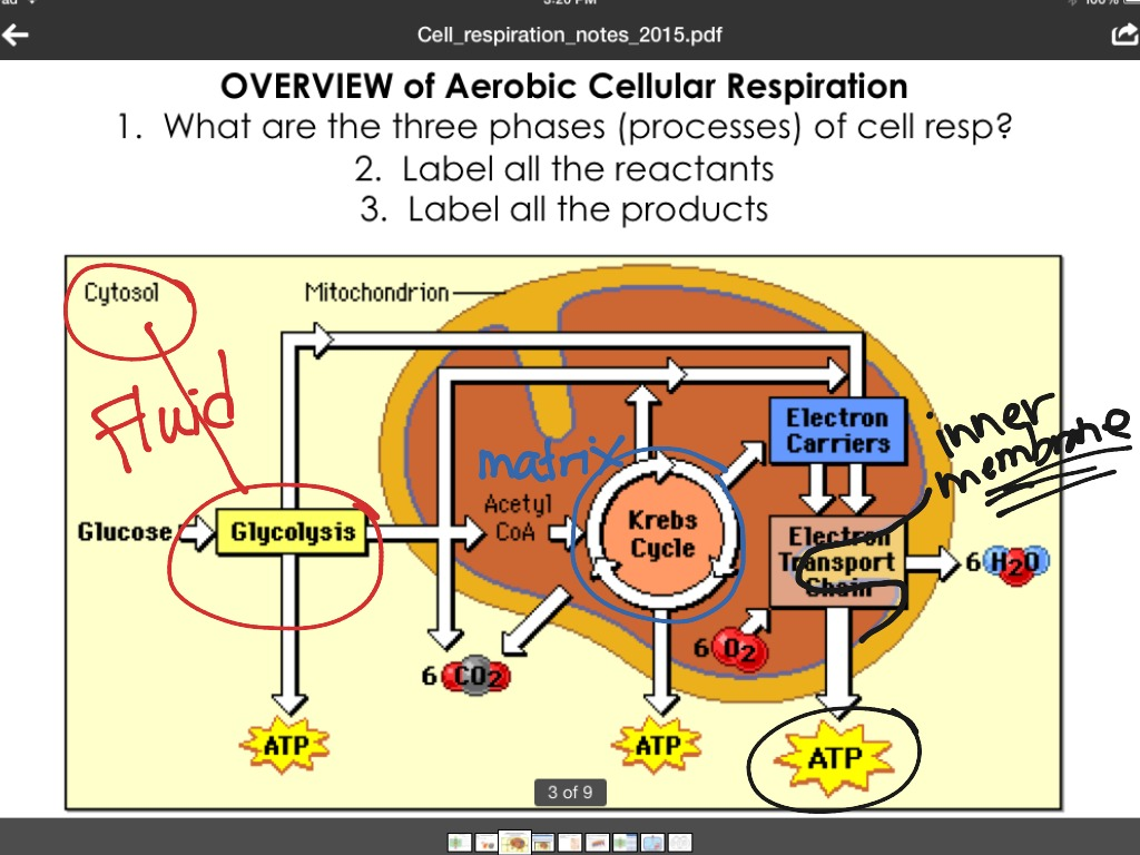 Phases of cellular respiration science biology showme pooptronica Image collections
