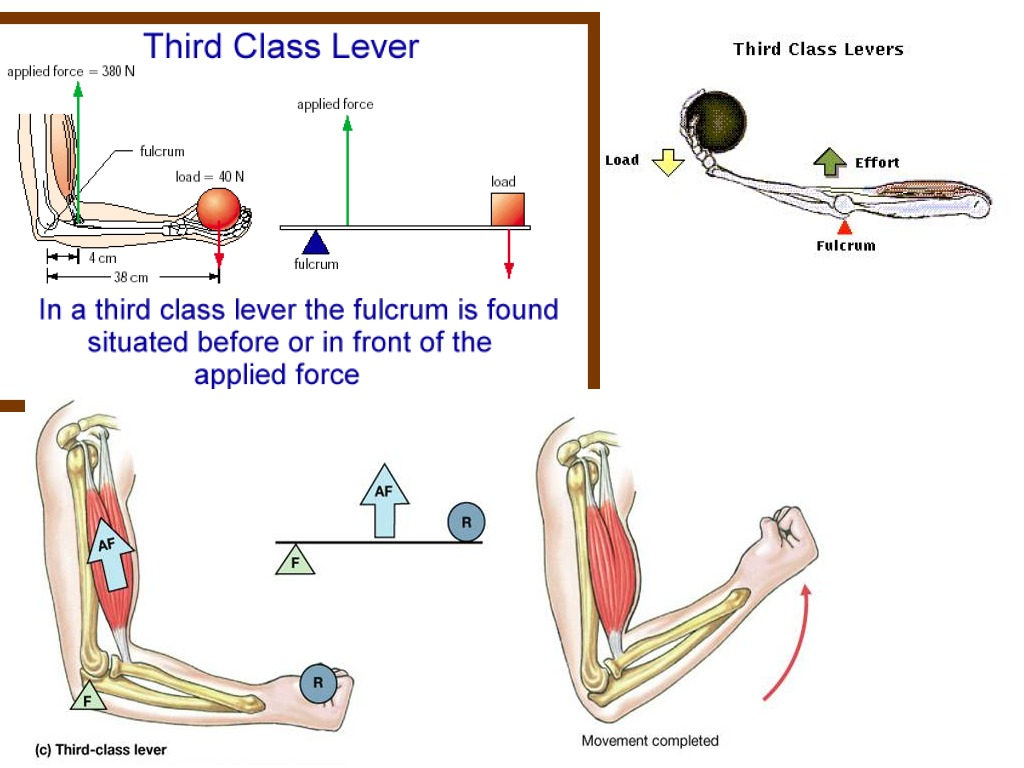 Third Class Lever Assignment Science Showme