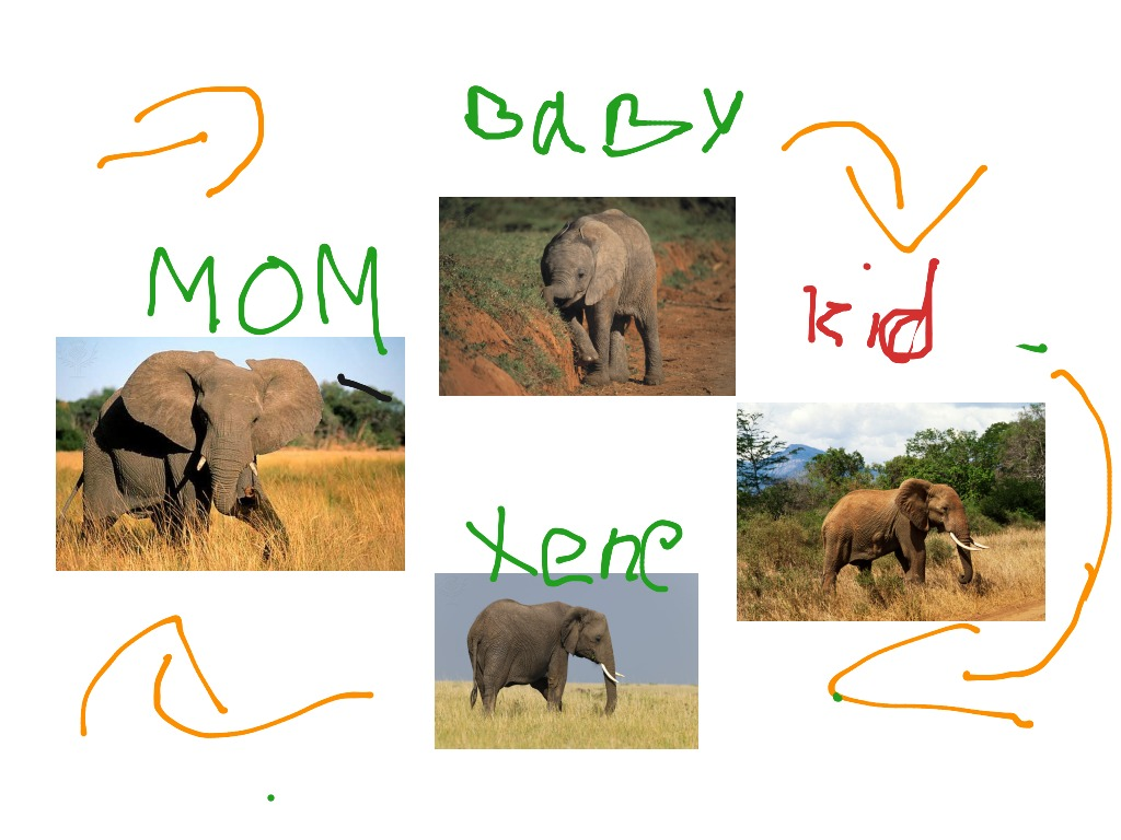 Elephant Food Chain For Kids