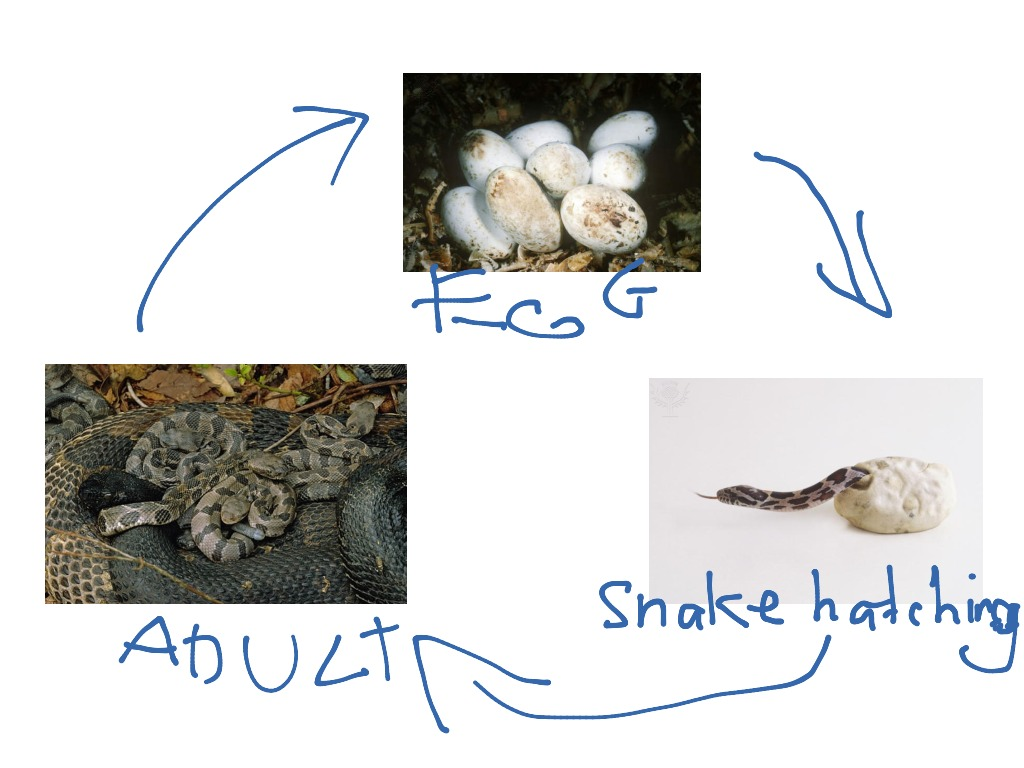 worksheet Life Cycle Of A Snake Worksheet the life cycle of a snake by jack science biology ecology showme
