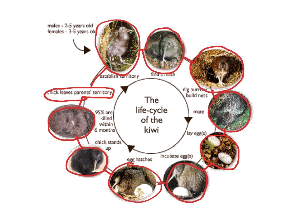 83 Kiwi Bird Life Cycle