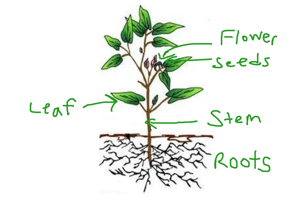 Plant structures and functions plants science showme ccuart Choice Image
