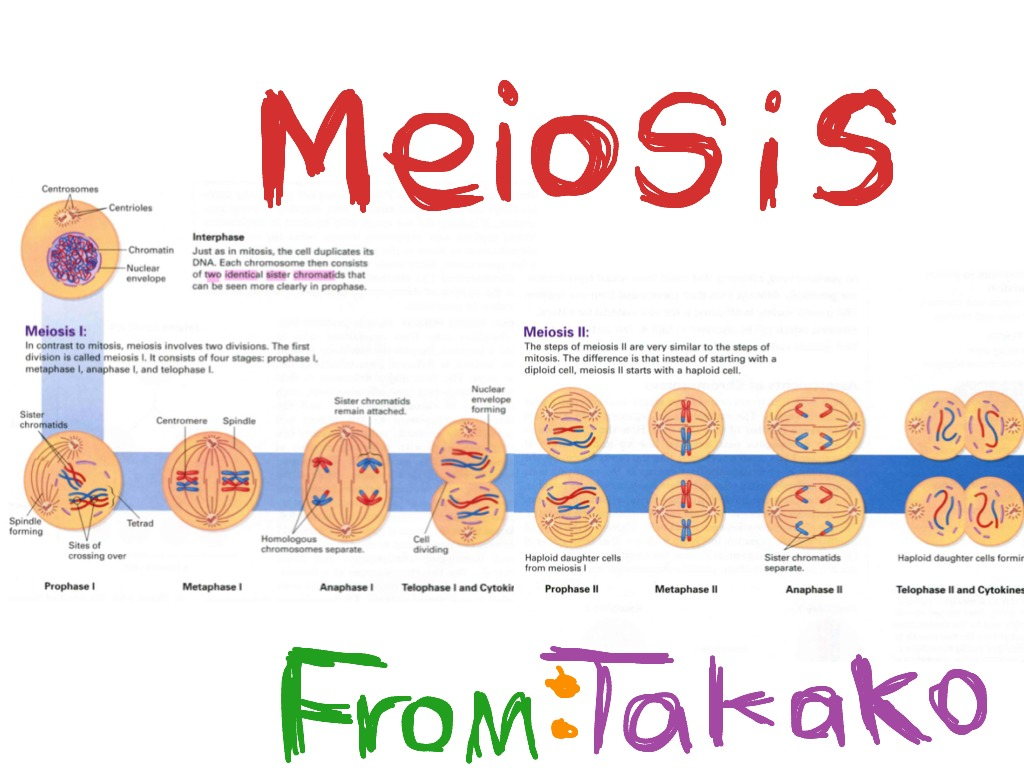 Process of meiosis diagram labeled wiring diagram database process of meiosis by takako biology science showme rh showme com meiosis diagram with description meisosis diagram ccuart Choice Image