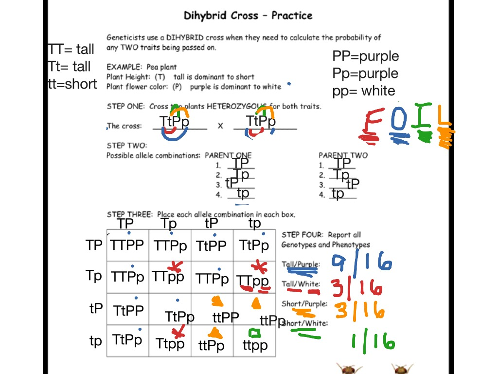 Worksheets Dihybrid Cross Worksheet showme dihybrid cross worksheet example