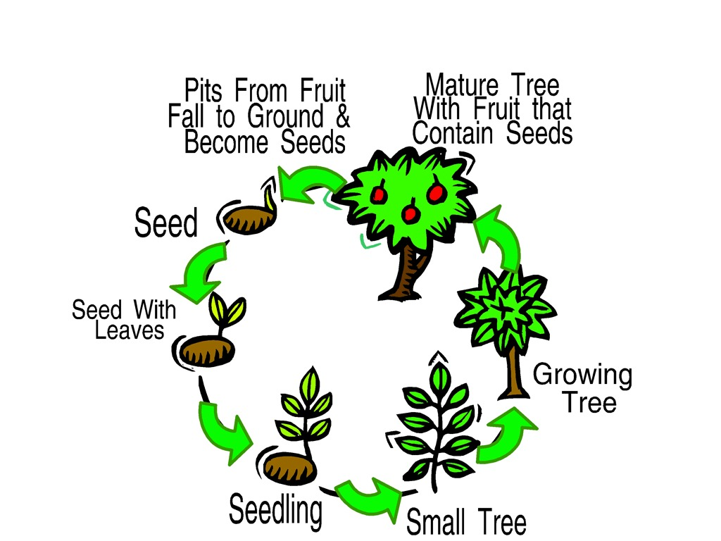 Tree Cycle Diagram Wiring Diagram Data